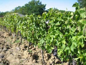 rang de vigne
