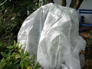 Rhododendron protégé d'un voile