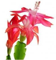 fleur de zygocactus
