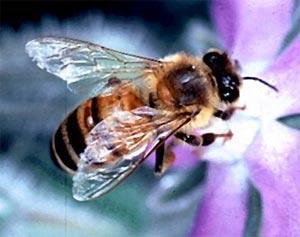 Les abeilles plus que jamais menacées - APImondia 2009