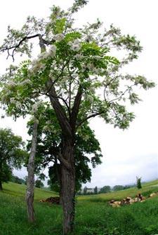 Faux-acacia (robinier)