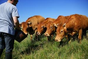 Agriculteur nourissant ses vaches