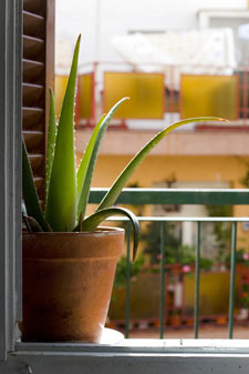 Aloe vera : propriétés, conseils de culture et précautions d'emploi
