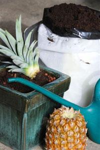 Plantation d'un ananas dans un pot rempli de terreau