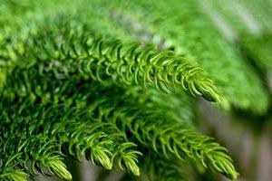 Araucaria heterophylla ou sapin d'intérieur pour Noël
