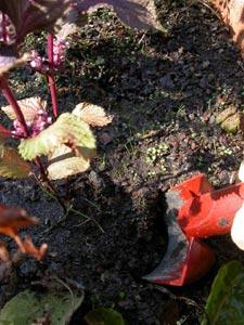 Déterrer une plante aromatique du jardin