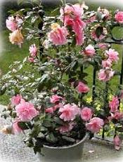 Jardinage en janvier: travaux sur rosiers, arbres, arbustes et pelouse