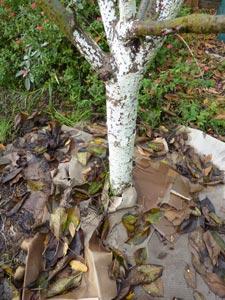Carton ondulé et paillage au pied des arbres