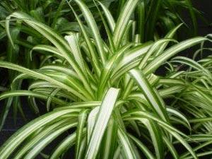 Chlorophytum ou phalangère