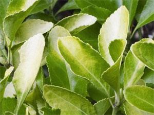 Chlorose (feuilles jaunies) sur fusain - euonymus