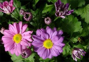Chrysantheme en fleurs