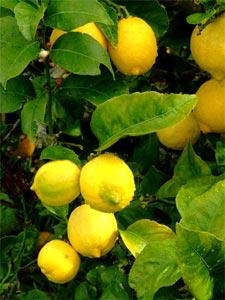 citrons sur un citronnier