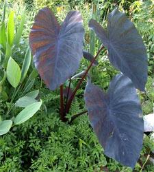 Colocasia esculenta - D.R.