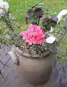 Composition fleurie pour l'été : liseron de Turquie et géranium