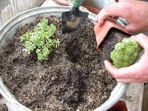 composition de plantes dexterieur des sur mesure duextrieur et pernettyas pour jardinire. Black Bedroom Furniture Sets. Home Design Ideas