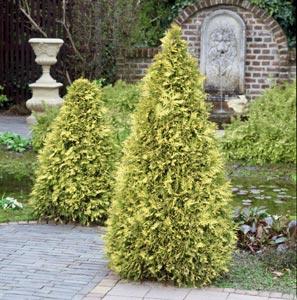 Scène de jardin avec conifères dorés