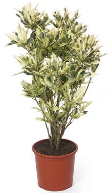 Nouveauté variétale : le Codiaeum variegatum Tamara