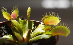 plante carnivore qui jaunit
