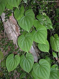 Dioscorea batatas - D.R.