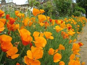 Des fleurs faciles à semer pour un été fleuri !