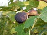 Pour des figues à foison