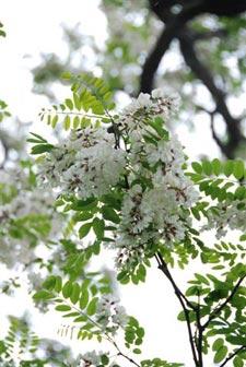 fleurs de Faux-acacia (robinier)