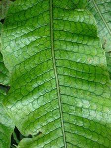 Fougère crocodile (Microsorum musifolium)
