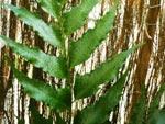 Cyrtomium falcatum – Fougère houx