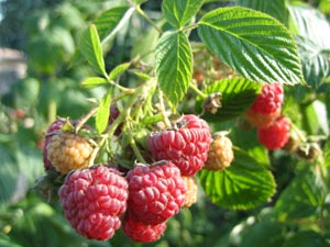 Framboise : un délice de petit fruit rouge