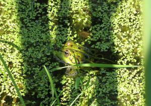 Lentilles d'eau et grenouille