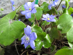 hepatica blue jewel
