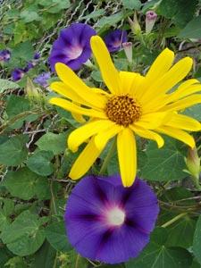 Contraste entre une ipomée mauve et un tournesol jaune