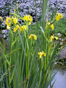 planter un iris d'eau