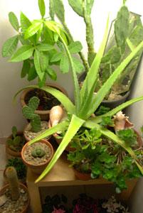 Jardin intérieur ; cactées et plantes grasses