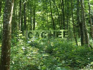 vent des forêts timides