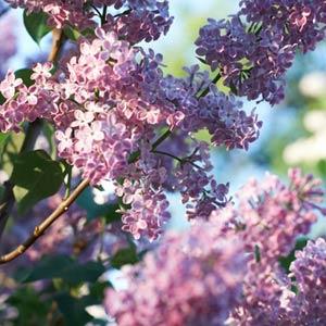 grappes de lilas