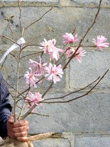 magnolia stellata chrysanthemifolia