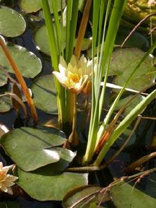 Nénuphar : une fleur pour tous les bassins
