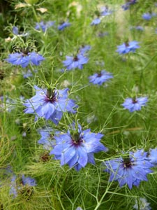 nigelle de damas couleur bleu vif 50 graines seeds ebay. Black Bedroom Furniture Sets. Home Design Ideas