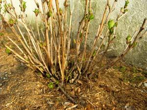 paillage en hiver prot ger les plantes contre le gel. Black Bedroom Furniture Sets. Home Design Ideas