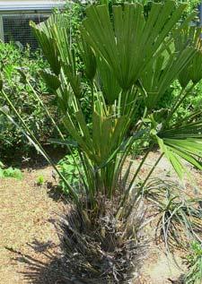 Palmier r sistant au froid les principaux palmiers rustiques - Manguier resistant au froid ...