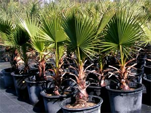 Washingtonia filifera palmier résistant au froid