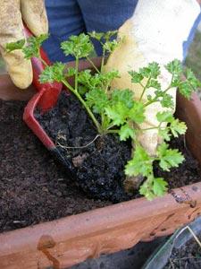Persil planté en jardinière
