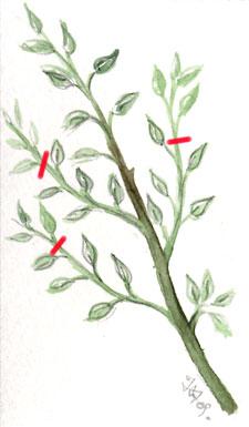 Pincement des arbres fruitiers