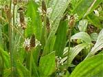 Le diagnostic des sols par les plantes sauvages