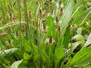 Diagnostic des sols par les plantes sauvages