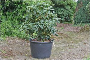 Des questions et surtout des r ponses sur for Quand planter un rhododendron