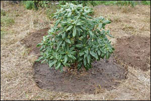 quand planter un rhododendron