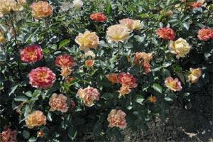 Rose 'La Parisienne' - Delbard