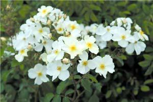 Rosier anglais kew garden